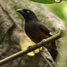 Andamanen-Boomekster, Dendrocitta bayleyi