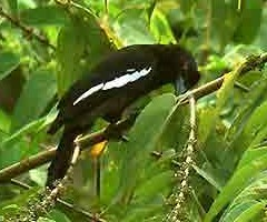 Zwarte gaai, Platysmurus leucopterus