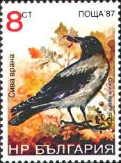 Bonte kraai, Corvus corone cornix