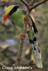 Groene Kitta, Cissa chinensis