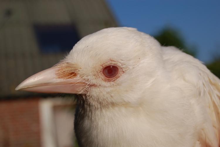 Ekster (Pica pica), albino