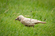 Kauw (Corvus monedula), bruinmutatie