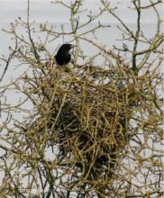 Ekster (Pica pica) bij nest