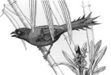 Trapstaartekster, Temnurus temnurus