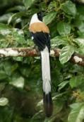 Witbuikboomekster, Dendrocitta leucogastra